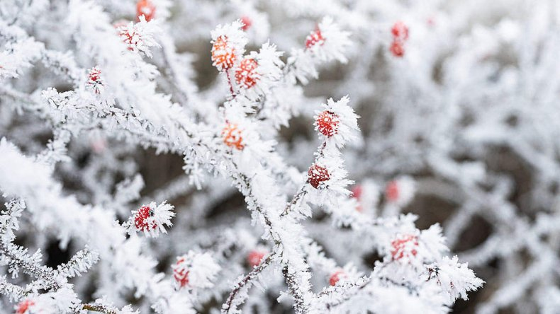 Frosted-rose-hips